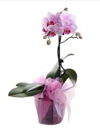 1 dal pembe orkide saksı çiçeği  Van kaliteli taze ve ucuz çiçekler
