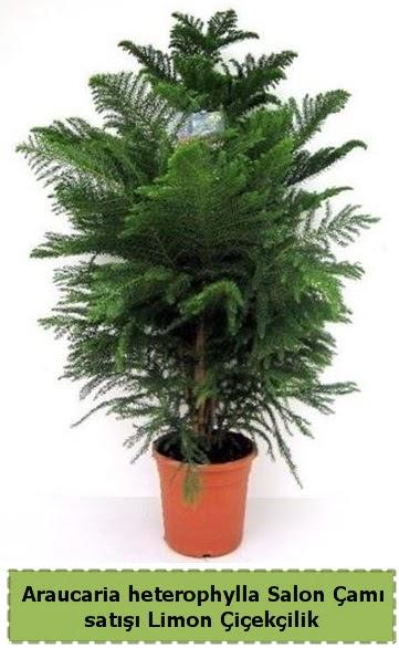 Salon Çamı Satışı Araucaria heterophylla  Van çiçek satışı