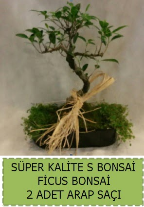 Ficus S Bonsai ve arap saçı  Van çiçekçi telefonları