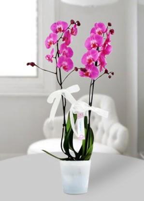 Çift dallı mor orkide  Van çiçekçiler