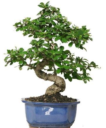 21 ile 25 cm arası özel S bonsai japon ağacı  Van çiçekçi telefonları