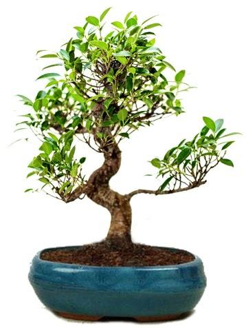 25 cm ile 30 cm aralığında Ficus S bonsai  Van çiçek gönderme sitemiz güvenlidir