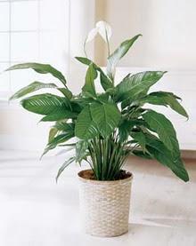 Van online çiçek gönderme sipariş  spatilyum ithal büyük boy