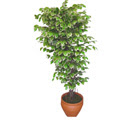 Ficus özel Starlight 1,75 cm   Van cicek , cicekci