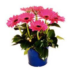 vazo içerisinde gerbera çiçekleri   Van online çiçek gönderme sipariş
