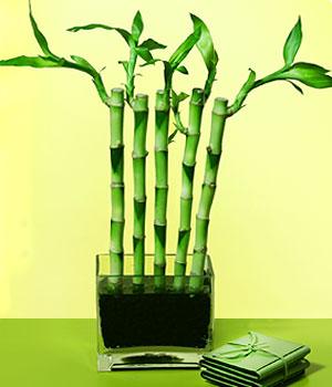 Van anneler günü çiçek yolla  Good Harmony Lucky Bamboo camda