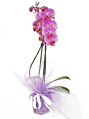 Van anneler günü çiçek yolla  Kaliteli ithal saksida orkide