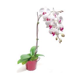 Van çiçek gönderme  Saksida orkide