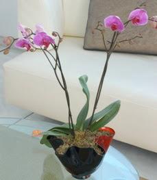 Van çiçekçi mağazası  tek dal ikili orkide saksi çiçegi