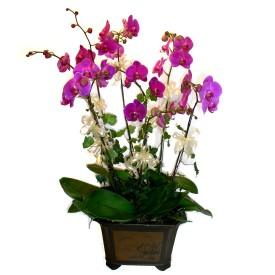 Van cicek , cicekci  4 adet orkide çiçegi