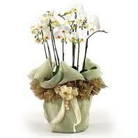 Van çiçek siparişi sitesi  3 dal orkide , saksi çiçegi , 3 kök orkide