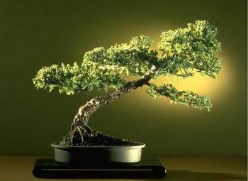 ithal bonsai saksi çiçegi  Van çiçekçi mağazası