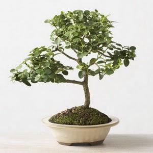 ithal bonsai saksi çiçegi  Van çiçek online çiçek siparişi