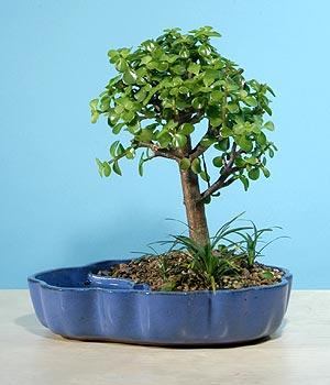 ithal bonsai saksi çiçegi  Van çiçekçiler