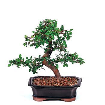 ithal bonsai saksi çiçegi  Van çiçek siparişi vermek