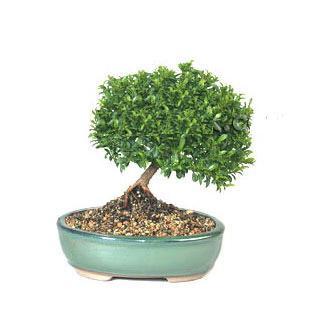 ithal bonsai saksi çiçegi  Van cicekciler , cicek siparisi