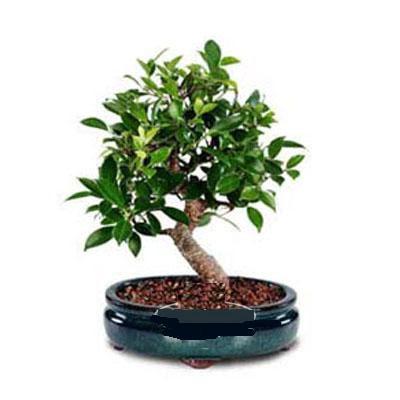 ithal bonsai saksi çiçegi  Van çiçek siparişi sitesi