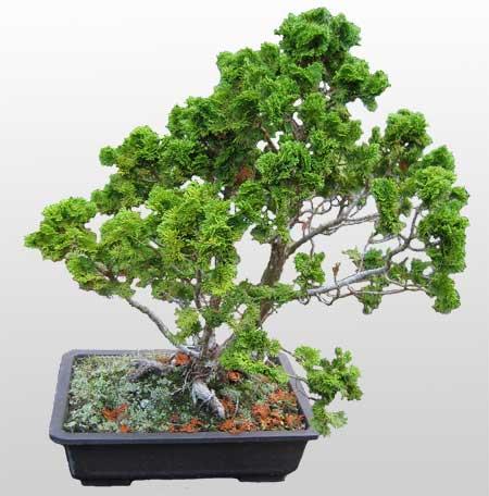 ithal bonsai saksi çiçegi  Van İnternetten çiçek siparişi