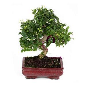 ithal bonsai saksi çiçegi  Van anneler günü çiçek yolla