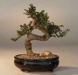 ithal bonsai saksi çiçegi  Van 14 şubat sevgililer günü çiçek