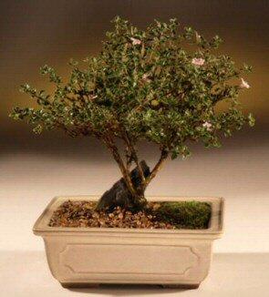 ithal bonsai saksi çiçegi  Van çiçek mağazası , çiçekçi adresleri