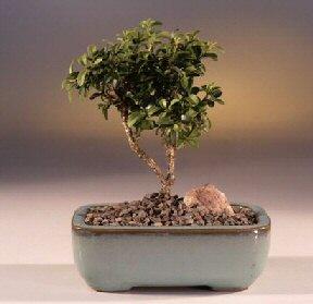 Van çiçek yolla  ithal bonsai saksi çiçegi  Van internetten çiçek satışı