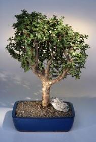 Van çiçek gönderme  ithal bonsai saksi çiçegi  Van çiçekçiler