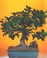 Van çiçekçi telefonları  ithal bonsai saksi çiçegi  Van internetten çiçek siparişi