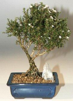 Van çiçek , çiçekçi , çiçekçilik  ithal bonsai saksi çiçegi  Van online çiçek gönderme sipariş