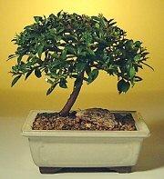Van ucuz çiçek gönder  ithal bonsai saksi çiçegi  Van cicek , cicekci