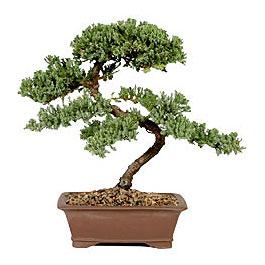 ithal bonsai saksi çiçegi  Van çiçek gönderme sitemiz güvenlidir