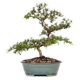 Van İnternetten çiçek siparişi  ithal bonsai saksi çiçegi  Van çiçek gönderme sitemiz güvenlidir