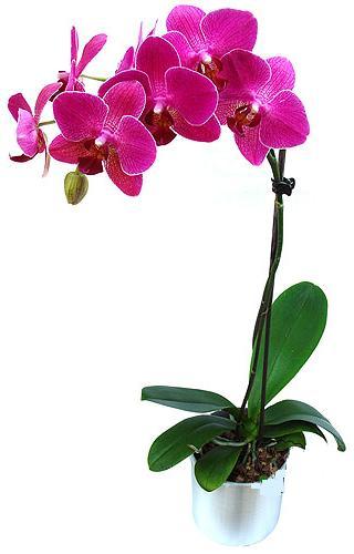 Van çiçekçi mağazası  saksi orkide çiçegi