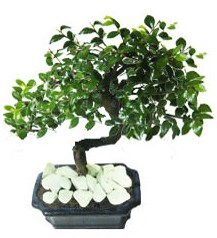 9 yasinda Bonsai agaci  Van yurtiçi ve yurtdışı çiçek siparişi