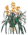 Van çiçekçiler  Orchiede ithal büyük boy saksi