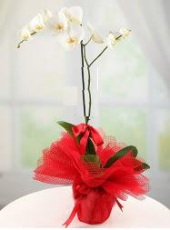 1 dal beyaz orkide saksı çiçeği  Van yurtiçi ve yurtdışı çiçek siparişi