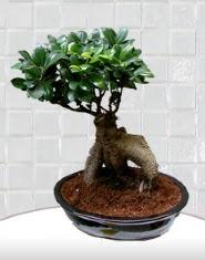 saksı çiçeği japon ağacı bonsai  Van kaliteli taze ve ucuz çiçekler