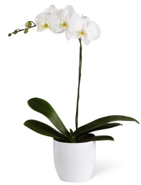 1 dallı beyaz orkide  Van 14 şubat sevgililer günü çiçek