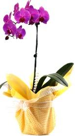 Van çiçek siparişi sitesi  Tek dal mor orkide saksı çiçeği