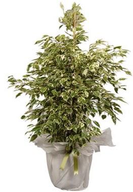 Orta boy alaca benjamin bitkisi  Van internetten çiçek satışı