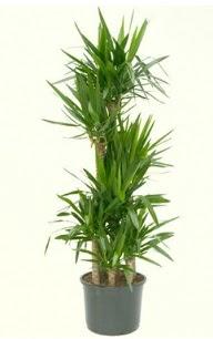 7 li yucca saksı bitkisi  Van çiçek servisi , çiçekçi adresleri