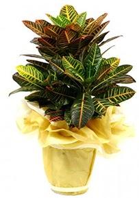 Orta boy kraton saksı çiçeği  Van 14 şubat sevgililer günü çiçek
