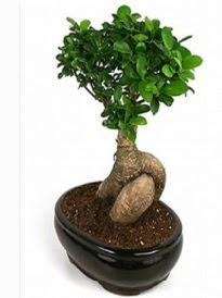 Bonsai saksı bitkisi japon ağacı  Van çiçek siparişi sitesi