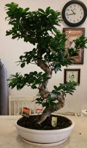 100 cm yüksekliğinde dev bonsai japon ağacı  Van İnternetten çiçek siparişi