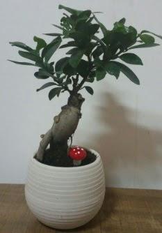 Bonsai japon ağacı saksı çiçeği  Van çiçek gönderme sitemiz güvenlidir