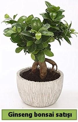 Ginseng bonsai japon ağacı satışı  Van çiçekçi telefonları