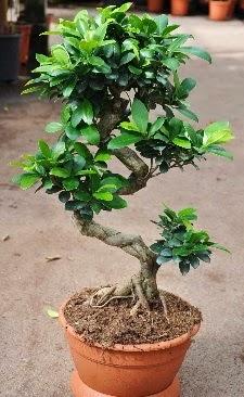 Orta boy bonsai saksı bitkisi  Van internetten çiçek siparişi