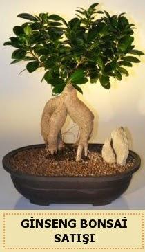 İthal Ginseng bonsai satışı japon ağacı  Van çiçek siparişi sitesi