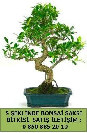 İthal S şeklinde dal eğriliği bonsai satışı  Van çiçek gönderme