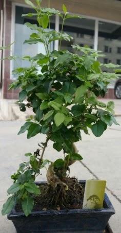 Bonsai japon ağacı saksı bitkisi  Van çiçek siparişi vermek